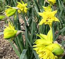 Hello Spring with a Smile of Daffodils by Dennis Melling