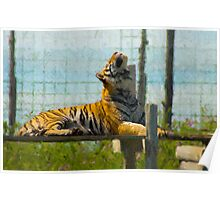 Siberian Tiger Resting Poster