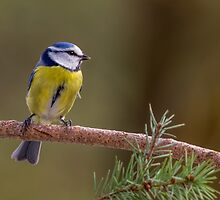 Blue Tit in the Forest by John Crongeyer