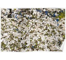 White Magnolia blooming bunch Poster