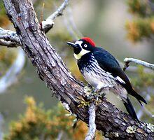 Acorn Woodpecker by Laurel Talabere