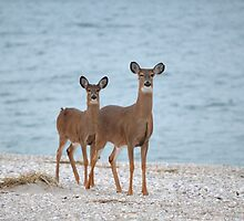 Odocoileus Virginianus - White-Tailed Deer | Rocky Point, New York by © Sophie W. Smith