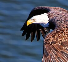 Bald Eagle by UmbieArt