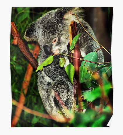 Koala Clinging Poster