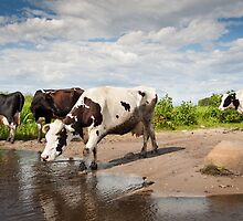 Herd of cows walking across puddle by Arletta Cwalina