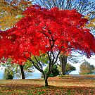 Brilliant Maple by RobertCharles