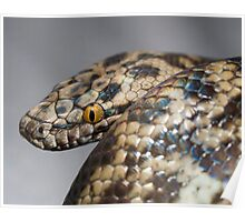 Spotted Python - Antaresia maculosa Poster