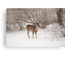 Hungry doe search food in snow Canvas Print