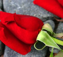 """""""Still life-red""""-Romantic image of a red rose  by Garry Andrews"""