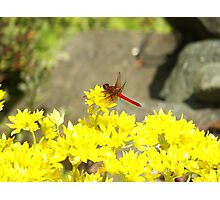Red Dragonfly in the Yellow Photographic Print