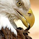 Bald Eagle Pruning by Photography by TJ Baccari