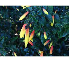 Vibrant Native Fuchsia Flower Photographic Print
