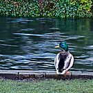 Duck on the River Itchen by NeilAlderney