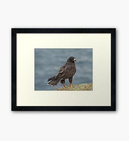 Galapagos Hawk Framed Print