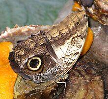 Owl Butterfly  by John Thurgood