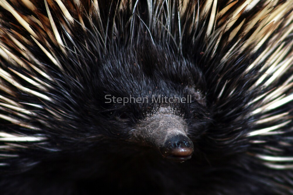 Snout by Stephen Mitchell