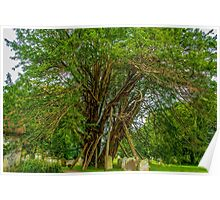 Ancient Yew Tree, Wilington Churchyard, East Sussex Poster
