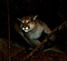 Mountain Lion by Dennis Begnoche Jr.