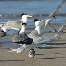 Little Tern, Sterna albifrons, Conservation status in NSW: Endangered by Normf