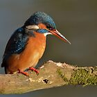 Kingfisher (Alcedo atthis) - V by Peter Wiggerman