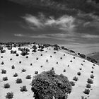Olive tree, Andalucia by Les Meehan