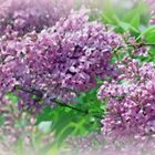 Lilacs Emotions Of Love by kkphoto1