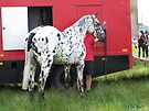 Appaloosa ... Loved by my owner by LoneAngel