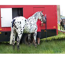 Appaloosa ... Loved by my owner Photographic Print
