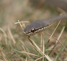 Whitelipped snake clear eyes by Thow's Photography