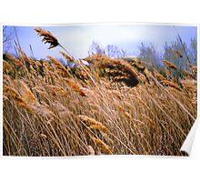 Blowing prairie Grass Poster