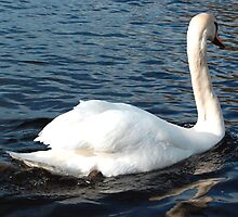 Swan by Pat Herlihy