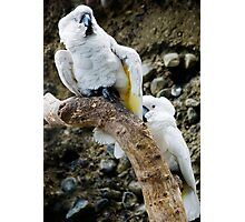 Cockatoos Photographic Print