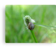Snail on Sedge Metal Print