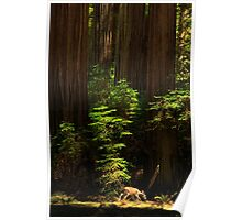 A Deer In The Redwoods Poster