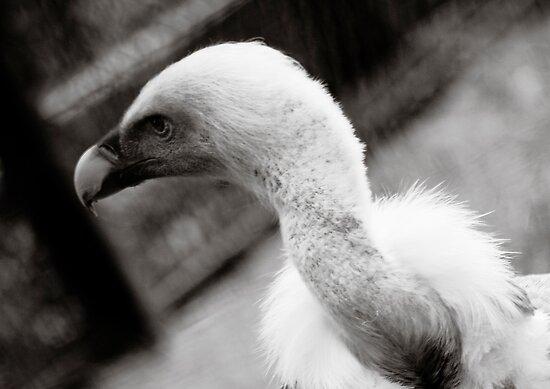 Blue Vulture by damokeen
