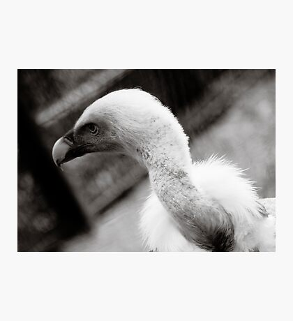 Blue Vulture Photographic Print