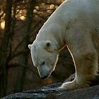 Polar Bear by Louise Fahy