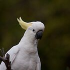 Sulphur Crested Cockatoo by Michael Fotheringham Portraits