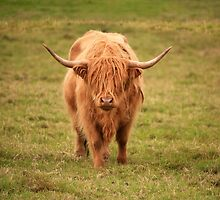 Highland Cow in Scotland by ljm000