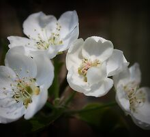 Spring Blossoms by Julie Wall