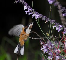 Eastern Spinebill and Salvia by MareeDavy