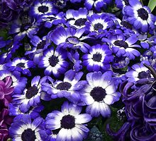 Purple + White African Daisies by Ladydi