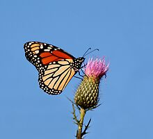 MONARCH BUTTERFLY by TomBaumker