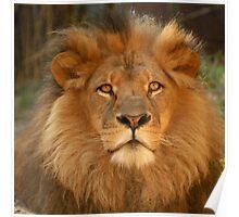 Lion Jambo-2 Poster