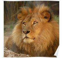 Lion Jambo-1 Poster