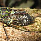 Cicada by niggle