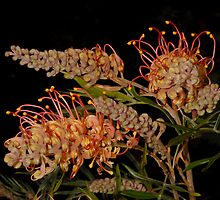 'Superb' Grevillea by MareeDavy