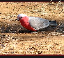 As silly as a Galah by outbackjack