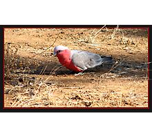 As silly as a Galah Photographic Print