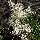 Blackthorn.  Sweet Bursia.  Christmas bush.  by Lozzar Flowers & Art